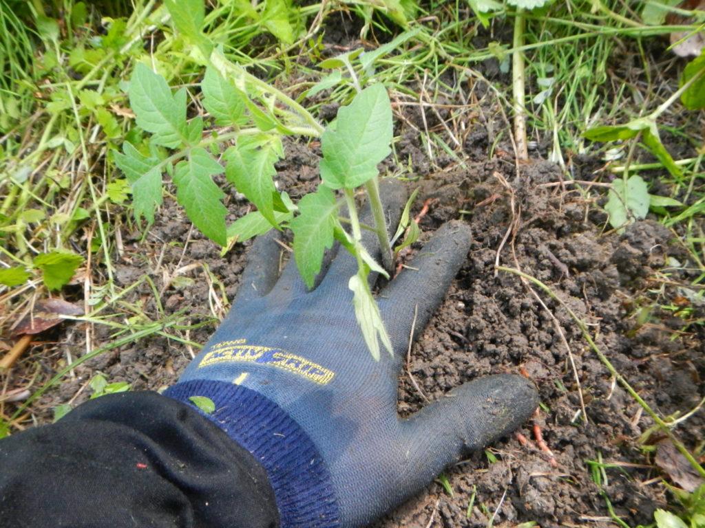 トマト植え付け5