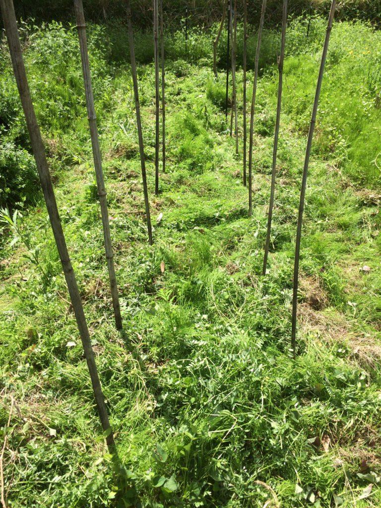 トマト植え付け後の畝