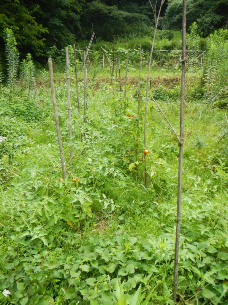 手入れ前のトマト畝